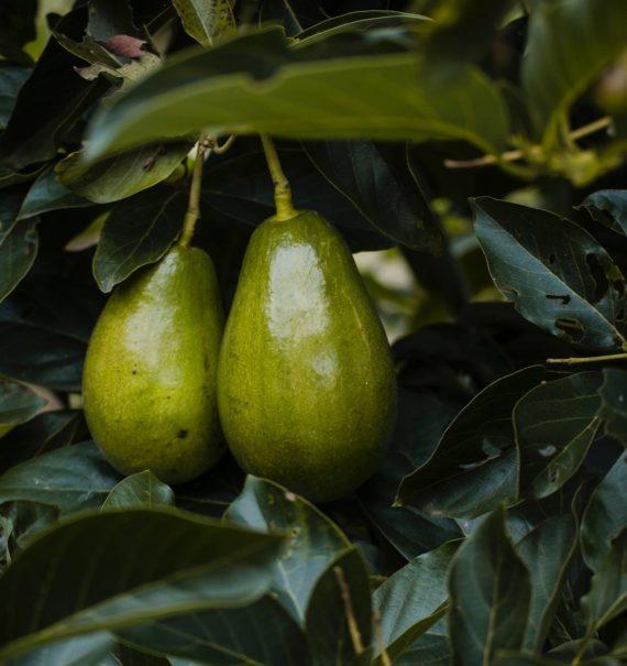 Heat Tolerant Avocado Trees
