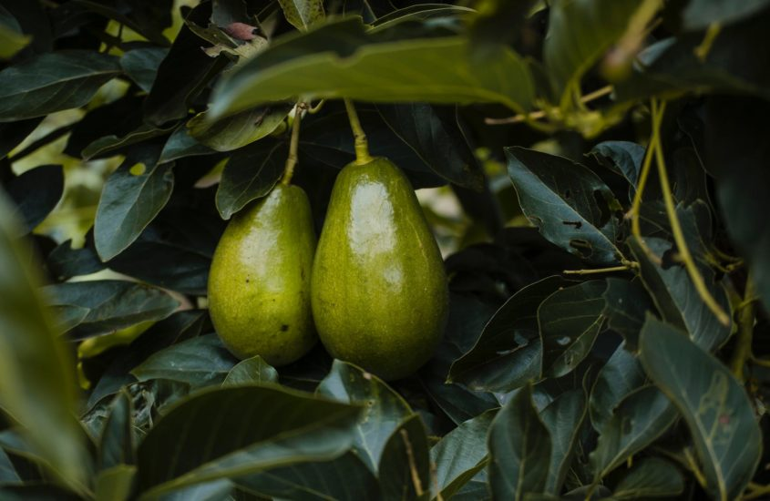 The Most Popular Heat Tolerant Avocado Trees