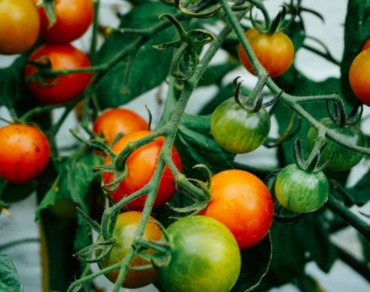 How To Ripen Tomatoes Off The Vine