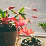 how often to water christmas cactus