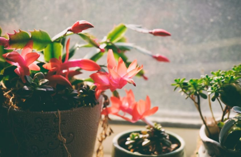 Avoid Over-Watering Christmas Cactus