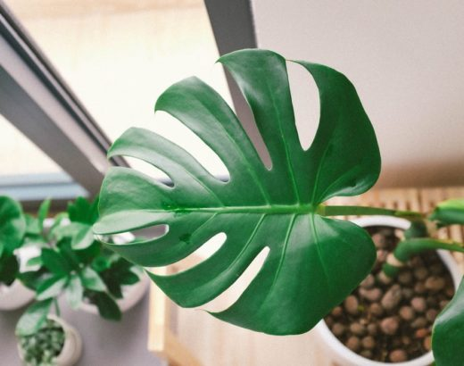 monstera aerial roots
