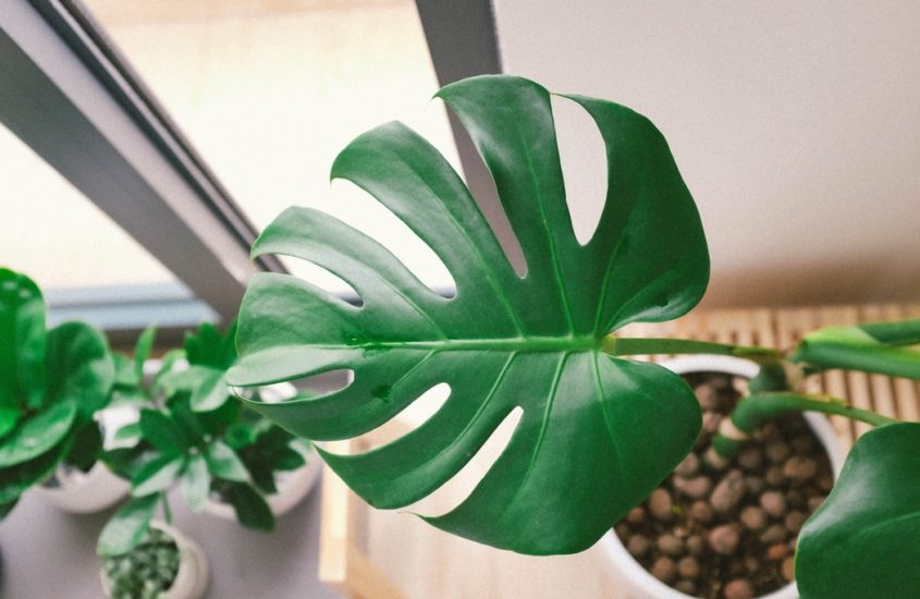 Planting and Growing Monstera Aerial Roots